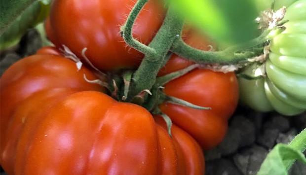 Pomodoro Siccagno